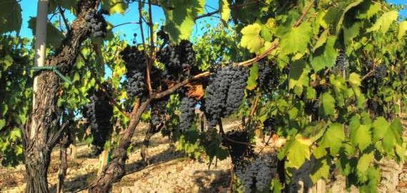 Sangiovese Weinrebe in der Chianti Region