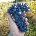 Bio-Weintrauben warten auf Ihre Verarbeitung zu erlesenen Weinen