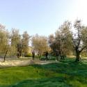 Villa Il Salicone - Olivenernte im privaten Olivenhain