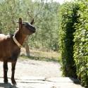 Forte Sorgnano - tierische Gäste