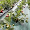 Die Bio-Erdbeeren sind fast reif